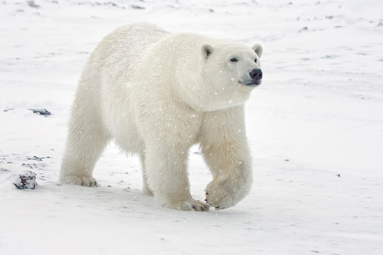 polar_bear_std